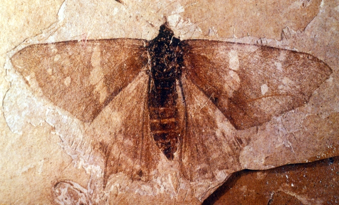 var natworldflfo butterfly0924 The Amazing Fossils of Florissant