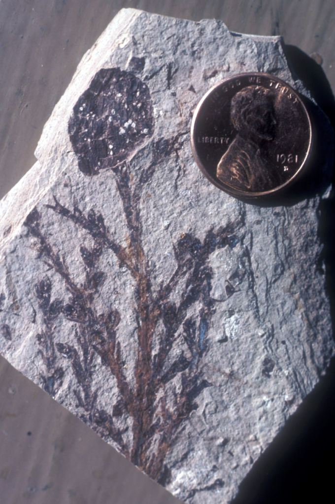 var natworldflfo sequoia twig0924 The Amazing Fossils of Florissant