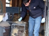 thumbs ben removing mink Mink Attack in rural Berthoud