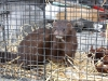 thumbs best mink Mink Attack in rural Berthoud