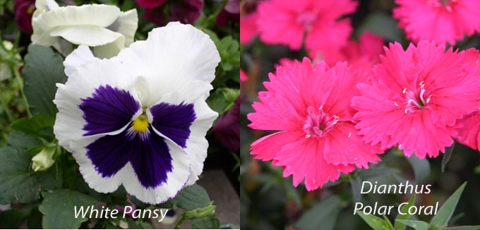 Pansy and dianthus Introducing Dianthus 'Polar Coral'