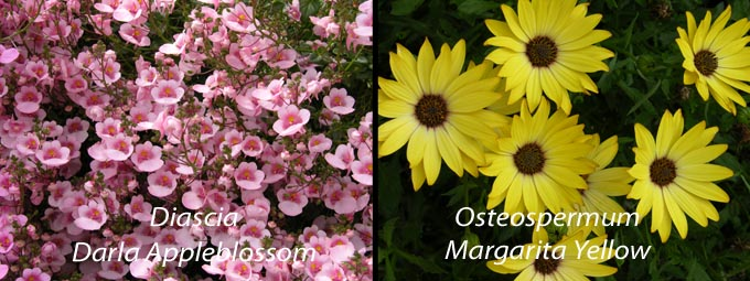 Osteospermum and Diascia Osteospermums & Diascia – great choices for now