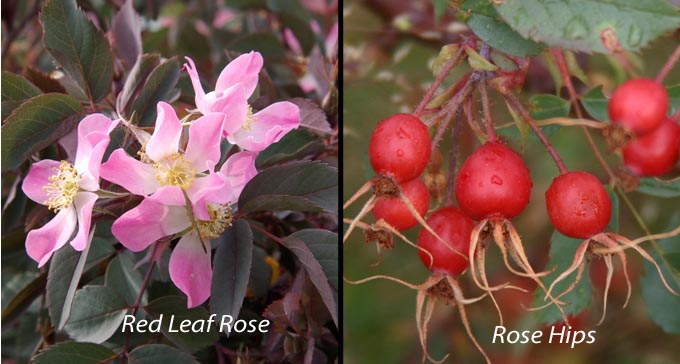 Red leaf rose and Hips Summer roses — Autumn hips