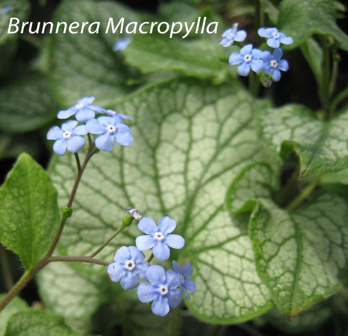 Week 2 Brunnera macrophylla Jack Frost Siberian Forget Me Not