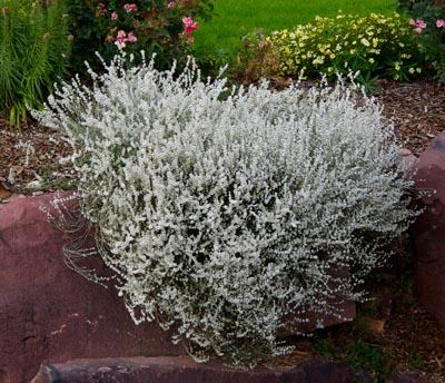 06.25.10Eriogonum wrightii David Winger 400 pix CGNA Featured Plants