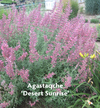 Agastache Desert Sunrise 350p1 Featured plants from the CNGA