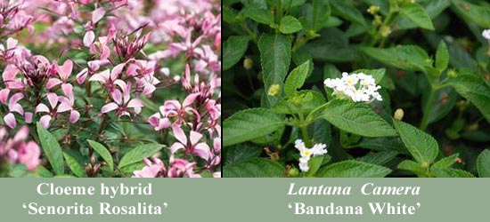 Annuals CGNA Featured Plants