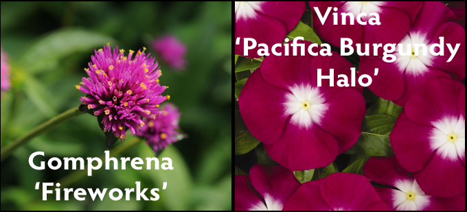Gompherena and Vinca Featured plants from the CNGA