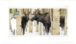 Moose Tracks Painting 150 pix Moose near Johnson's Corner on the Summer Solstice