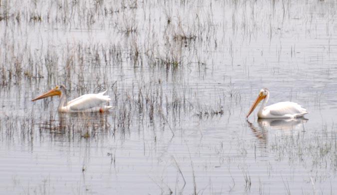 Pelicans Pelicans stop at Foster Reservoir