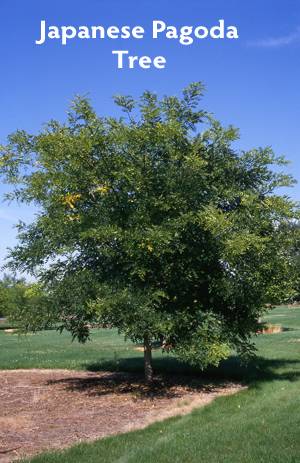 Sophora japonica Regent Japanese Pagoda Tree 350p Featured plants from the CNGA