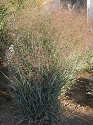 Week 14 Panicum virgatum Prairie Sky 300 pix CGNA Featured Plants