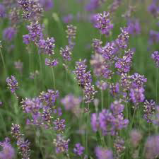 french Lavender Tips and Answers from Master Gardeners