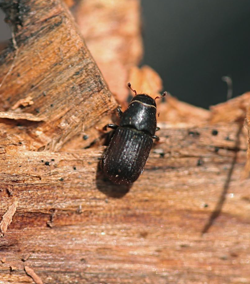 BarkBeetle1 The Mountain Pine Beetle's Unprecedented Epidemic