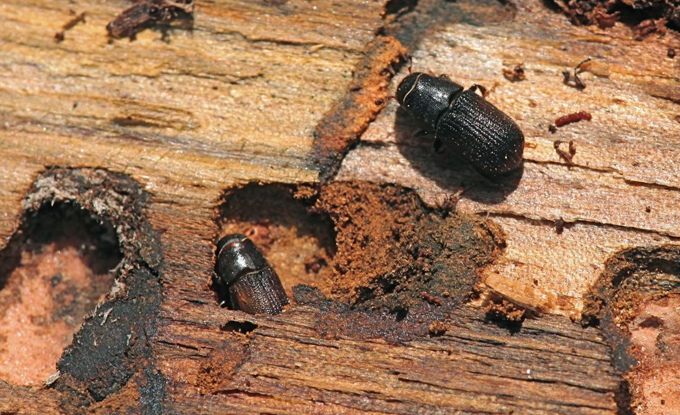 BarkBeetle2 The Mountain Pine Beetle's Unprecedented Epidemic
