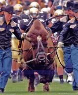 "Buffalo ""Glory, Glory Colorado"""