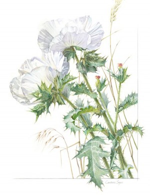Constance Sayas Argemone polyanthemos Prickly Poppy.Watercolor 300x389 Botanica: New Works Exhibit Coming to Loveland Museum/Gallery