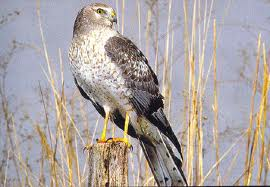 Northern Harrier A Life on the Wing