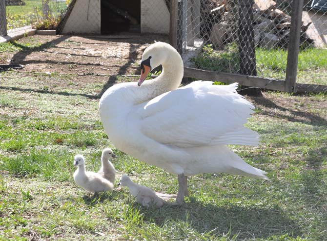 Pen and cygnets Berthoud Swans
