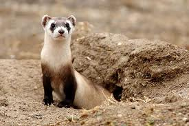 Black footed ferret The Year of the Black footed Ferret