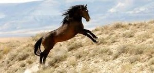 wild horse 300x143 BLM announces Fall Winter Wild Horse and Burro Gather schedule