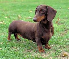 "dachshund ""Ouch, my back hurts!"" IVDD and your Dog."