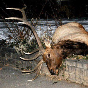 7dead elk 300x300 Update: Boulder policemen charged in elk shooting