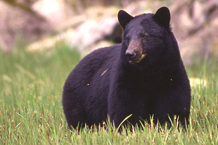 blackbear Bears Are Out; Be Bear Aware