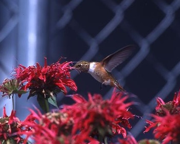 hummingbird in beebalm by Gwyn and Gregg Beam