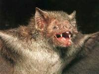 1559 RabidBat Your Pet and Rabies