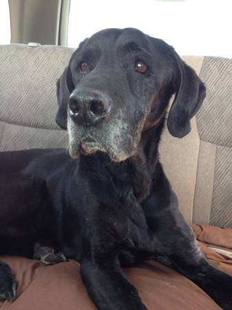 Black lab Berthoud Estates: Lost Dog
