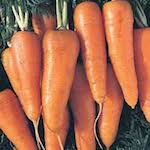 early horn Carrot