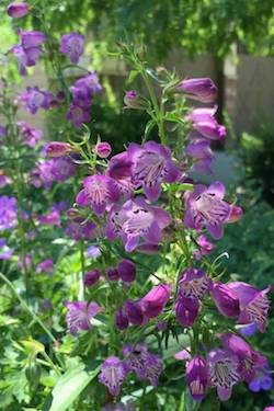 Pikes Peak penstemon