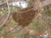 Honey Bee Swarm Season