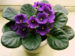 Sweetheart Violetts selling African Violets