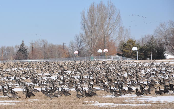 Canada Geese at Waggener Farm Park