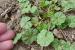 Master Gardener: Top 10 weeds
