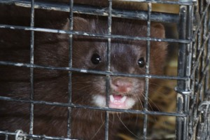 Mink have sharp teeth and are very dangerous.