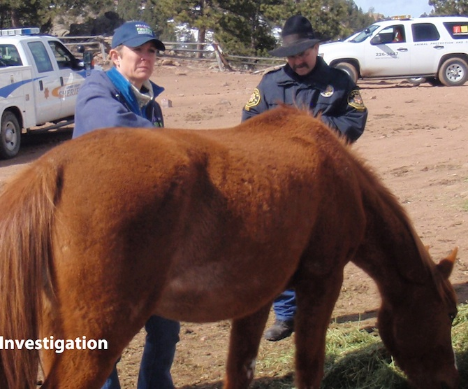 Dr. Kate Anderson, Bureau of Animal Protection veterinarian, examines a horsewhile Larimer County Sheriff's Posse Deputy Scott Carter observes.