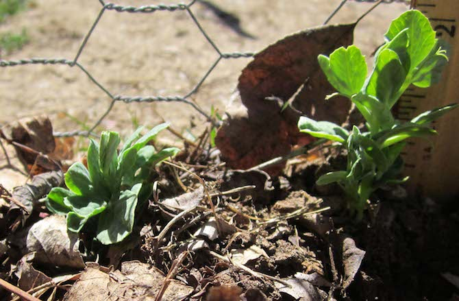 Pea Seedlings in March taken by Susan Perry